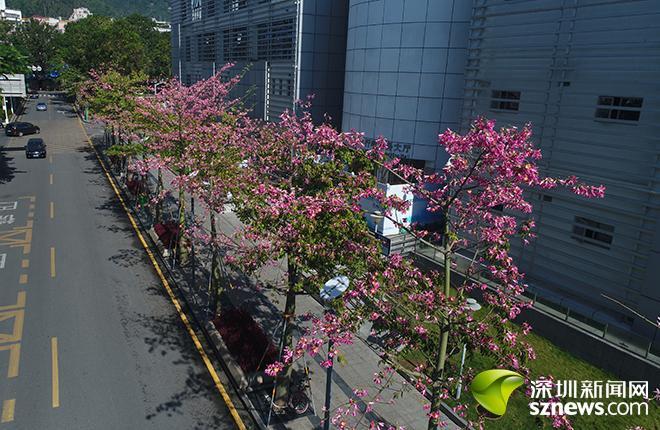 樱红漫天尽显花漾街区风采